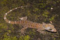 Cyrtodactylus sp., Wind Cave, Bau
