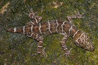 Cyrtodactylus sp., NP Santubong