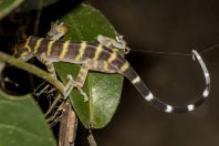 Cyrtodactylus sp., Permai