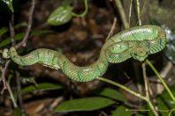 Tropidolaemus subannulatus, Permai