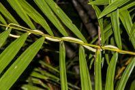 Dendrelaphis caudolineatus, Permai