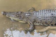 Crocodylus porosus, Matang