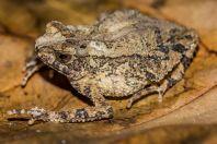 Ingerophrynus divergens, Matang