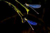 Vážky, NP Santubong