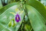 Orchidej, Kuching