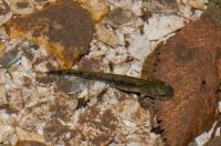 Salamandra salamandra, Žaga