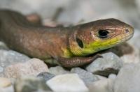 Lacerta viridis komplex, Breginjski kot