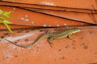 Podarcis siculus, Dragonja