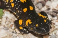 Salamandra salamandra, NP Triglav