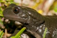 Salamandra atra, NP Triglav