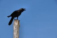 House Crow (Corvus splendens), Negombo