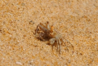 Ghost crab (Ocypode sp.), Negombo