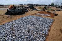 Fish drying, Negombo