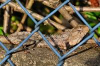 Calotes cf. versicolor, Negombo
