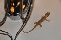 Common House Gecko (Hemidactylus frenatus), Negombo