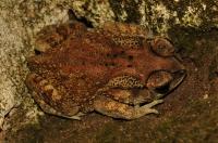 Asian common toad (Duttaphrynus melanostictus), Negombo