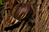East African land snail (Achatina cf. fulica), Negombo