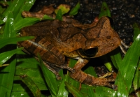 Common hourglass tree frog (Polypedates cruciger), Deniyaya