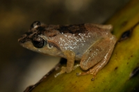 Common Shrub Frog (Pseudophilautus  popularis), Deniyaya