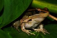 Golden frog (Hylarana aurantiaca), Deniyaya