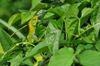 Common Green Forest Lizard (Calotes calotes), Mediripitiya