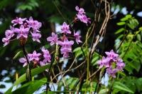 Orchids, Mediripitiya