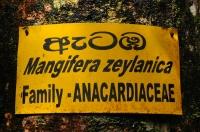 Mangifera zeylanica, Sinharaja