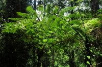 Ferns in Sinharaja