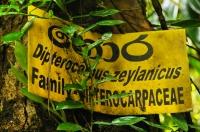 Dipterocarpus zeylanicus, Sinharaja