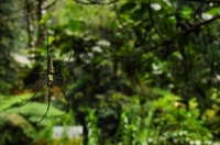 Golden orb-web spider (Nephila pilipes), Sinharaja