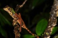 Brown-patched Kangaroo lizard (Otocryptis wiegmanni), Sinharaja