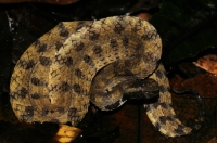 Sri Lankan hump-nosed viper (Hypnale nepa), Sinharaja