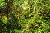 Interior of the rainforest, Sinharaja