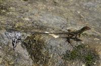 Otocryptis wiegmanni, Sinharaja