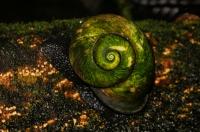 Snail Acavus phoenix, Sinharaja