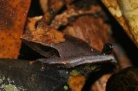 Pseudophilautus cf. nasutus, Sinharaja