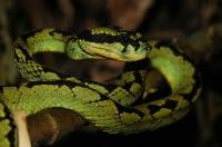 Sri Lankan green pit viper (Trimeresurus trigonocephalus), Sinharaja