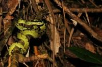 Trimeresurus trigonocephalus, Sinharaja