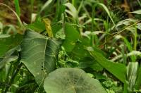 Calotes calotes, Mediripitiya