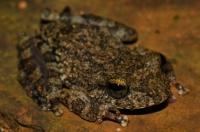 Pseudophilautus cf. hallidayi, Deniyaya