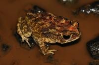 Duttaphrynus melanostictus, Deniyaya