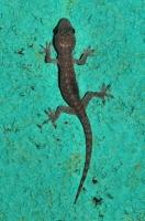 Brook's House Gecko (Hemidactylus brookii), Deniyaya