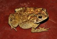 Duttaphrynus melanostictus, Tissamaharama