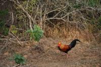 Sri Lanka Junglefowl (Gallus lafayettii), Yala NP
