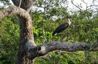 Woolly-necked Stork (Ciconia episcopus), Yala NP