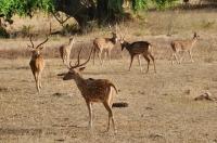 Sri Lankan axis deer (Axis axis ceylonensis), Yala NP