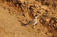 Yellow-wattled Lapwing (Vanellus malabaricus), Yala NP