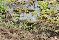 Bengal monitor (Varanus bengalensis), Yala NP