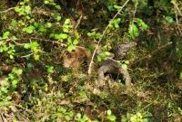 Varanus bengalensis, Yala NP