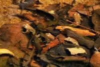 Indian Skipper Frog (Euphlyctis cyanophlyctis), Yala NP